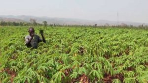 start a cassava farm in nigeria