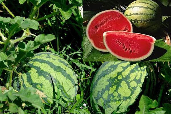 watermelon farming in nigeria